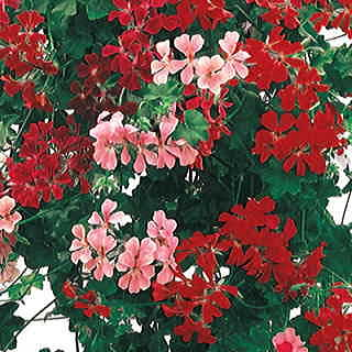 Summer Showers Hybrid Mix Geranium Seeds