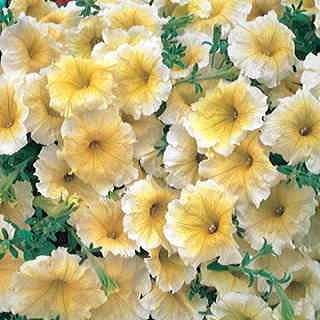 Horizon Yellow Petunia Seeds