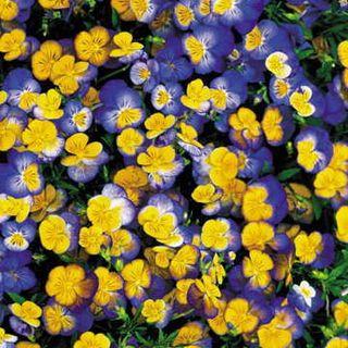 Ultima Morpho Hybrid Pansy Seeds