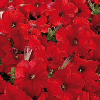 Celebrity Red Petunia Seeds