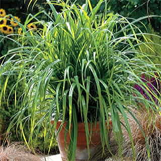 Fresh Look Carex Ornamental Grass Seeds