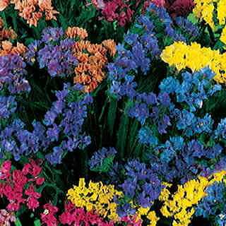 Soiree Deep Blue Statice Flower Seeds