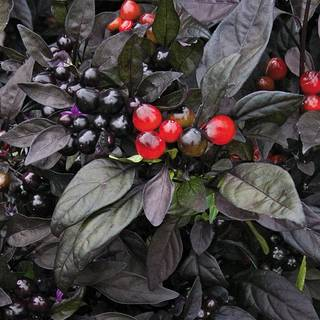Black Pearl Ornamental Pepper Seeds