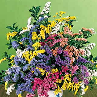 Soiree Mix Statice Flower Seeds