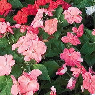 Sunny Lady Pink Impatiens Seeds