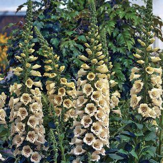 Camelot Cream Foxglove Seeds