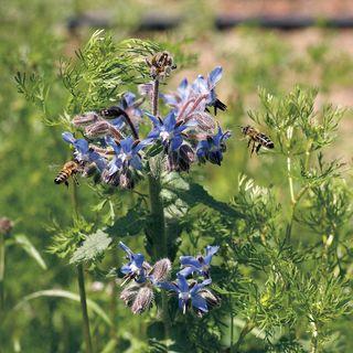 Pollinator Herb Mixture Seeds