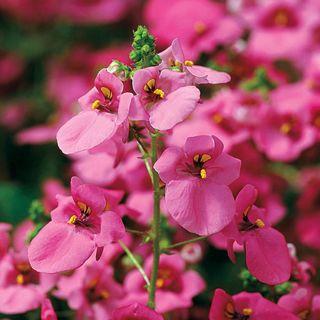Diamonte Lavender Pink Diascia Seeds