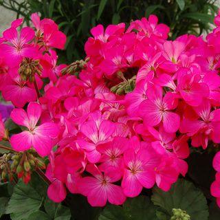 Geranium Nano™ Pink Seeds