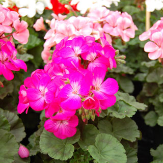 Geranium Nano™ Deep Rose Seeds