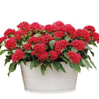 Graffiti® Bright Red Pentas Seeds