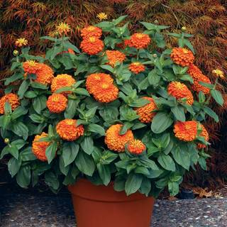Magellan Orange Zinnia Seeds