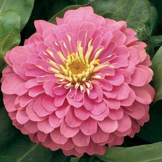 Magellan Pink Zinnia Seeds