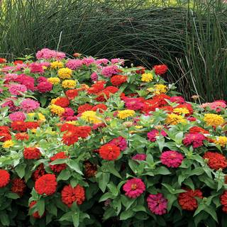 Magellan Mix Zinnia Seeds