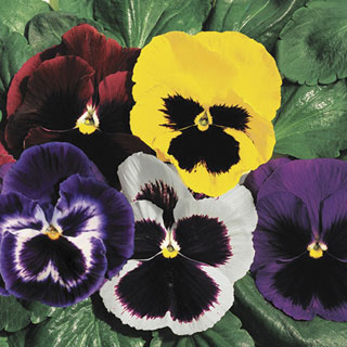 Parks Whopper Mix Pansy Seeds