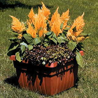 Fresh Look Gold Celosia Seeds