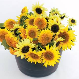 Dwarf Mix Organic Sunflower Seeds