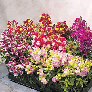 Floral Showers Bicolor Mix Snapdragon Seeds