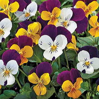 Jump-up Mix Viola Seeds
