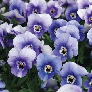 Penny Deep Marina Viola Seeds
