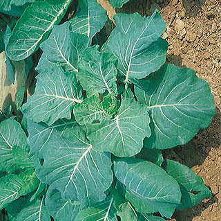 Georgia Collards Seeds