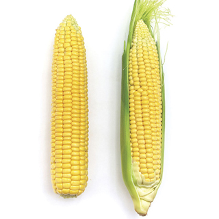 Early Sunglow Hybrid Corn Seeds