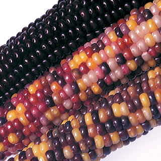 Fiesta Hybrid Corn Seeds