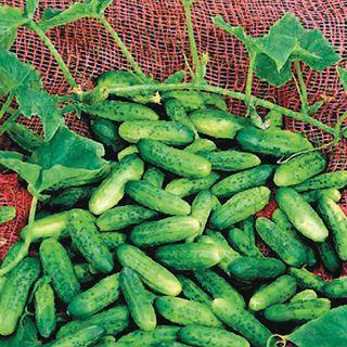 Alibi Cucumber Seeds