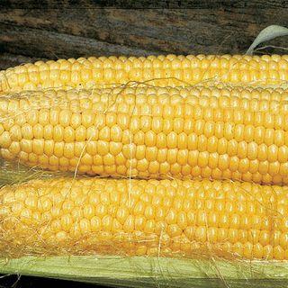 Butterfruit Original Early Corn Seeds