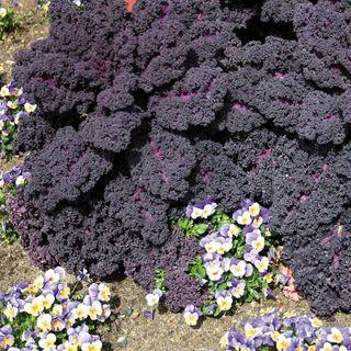 Redbor Hybrid Kale Seeds