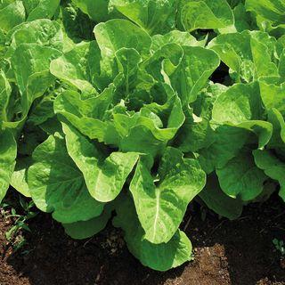 Jericho Hybrid Lettuce Seeds
