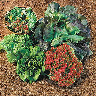 Summer Glory Blend Lettuce Seeds