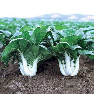 Joi Choi Hybrid Pak Choi Seeds