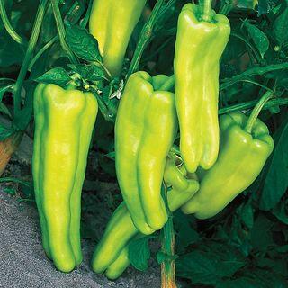 Aruba Pepper Seeds
