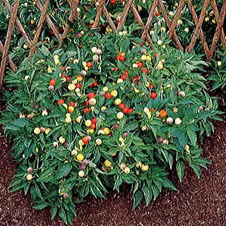 Marbles Pepper Seeds