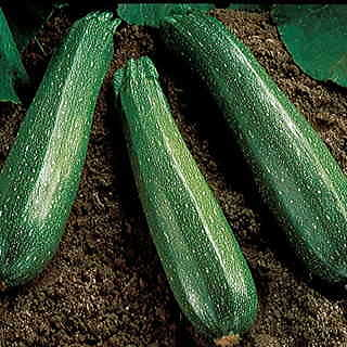 Spineless Beauty Hybrid Squash Seeds