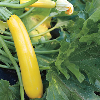 Gold Rush Hybrid Squash Seeds