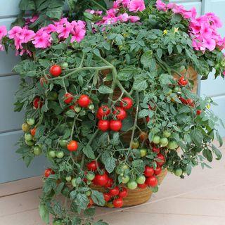 Tumbling Tom Tomato Seeds