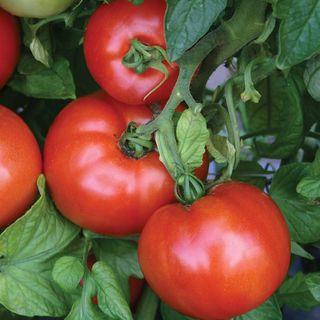 Parks Season Starter Hybrid Tomato Seeds