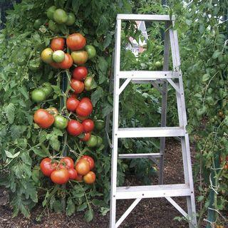 Park's Whopper CR Improved Hybrid Tomato Seeds (P)Pkt of 30 seeds Image