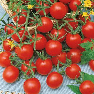 Ladybug Hybrid Tomato Seeds