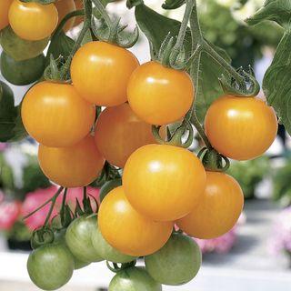 Tumbling Tom Yellow Tomato Seeds