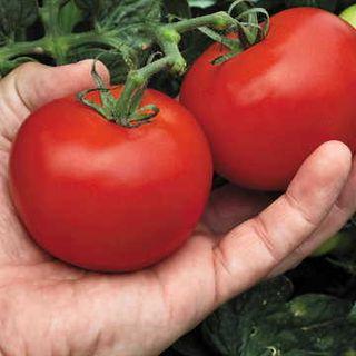Mega Bite Hybrid Tomato Seeds