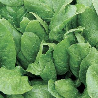 Space Hybrid Spinach Seeds