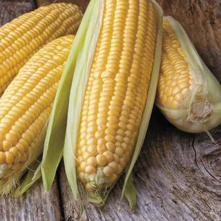 Honey Select Triplesweet™ Hybrid Corn Seeds