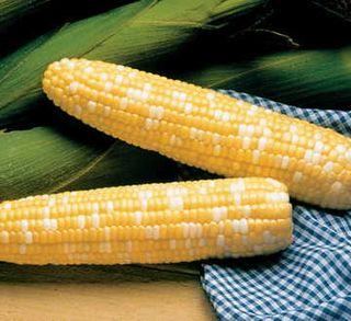 Serendipity Triplesweet™ Hybrid Corn Seeds
