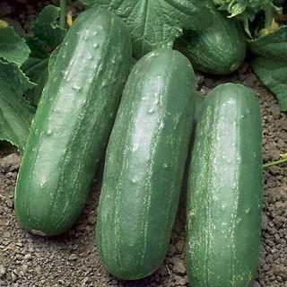 Eureka Hybrid Cucumber Seeds