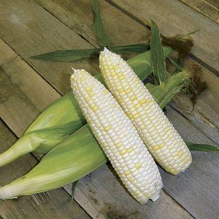 White Mirai® 421 Corn Seeds