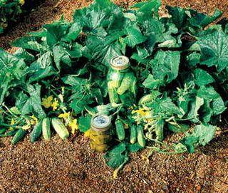 Bush Pickle Hybrid Cucumber Seeds