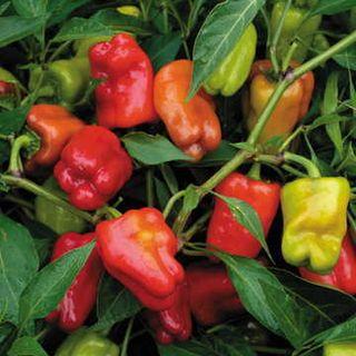 Cajun Belle Hybrid Pepper Seeds